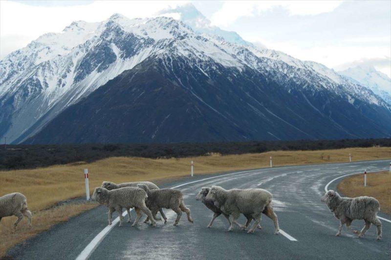 羊の群れが道路を横切る