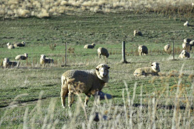 こっちを見てくる羊の群れ