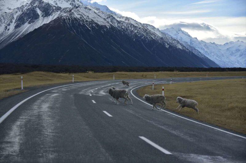 横切る羊たち