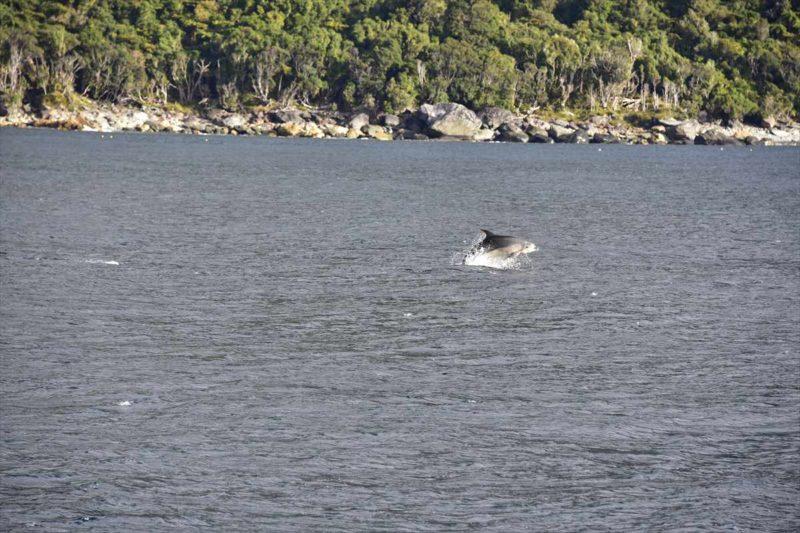ミルフォードサウンドを泳ぐ野生のイルカ